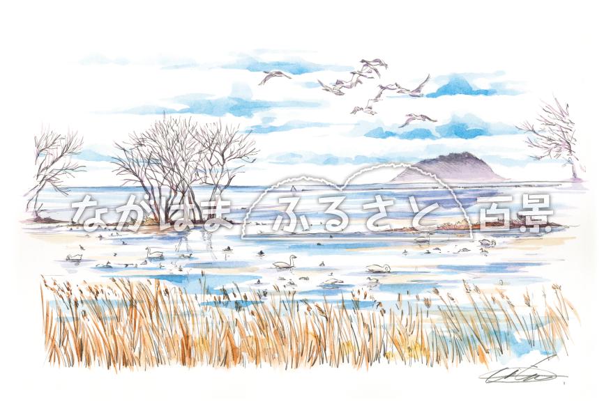 コハクチョウが群れる湖畔