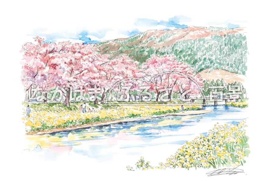 余呉川の桜と菜の花